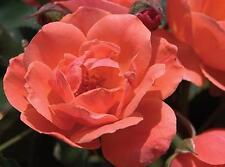 Rose Bush Seeds - Carefree Celebration - Shrub Rose- Disease Resistant- 10 Seeds