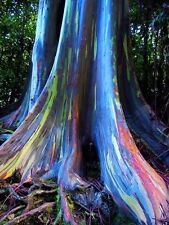 100 seeds of Rainbow Eucalyptus tree Deglupta Mindanao Gum