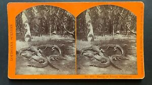 New Orleans Louisiana Stereoview Group of Young Alligators by S T Blessing 1870s