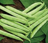 Roma II Bean Seed - Greenpod Bush Garden Vegetable Beans Seeds (1oz to 8oz)