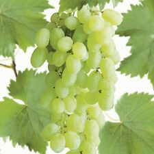 White Grape Vine /'Lakemont/' Grow Outdoors Seedless 80cm tall Potted apx 3ft