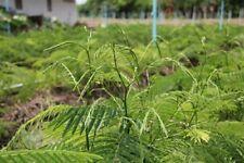 10 Seeds Thai Cha-om Acacia,Senegalia Pennata