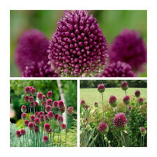 "/""Blue Flowered Garlic/"",Bee//insect friendly Bolly Bulbs® Allium Caeruleum bulbs"
