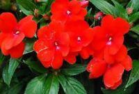 Impatiens- Walleriana Baby - Scarlet- 50 Seeds- BOGO 50% off SALE