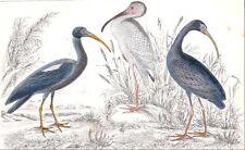 1865 vintage IBIS birds bird original hand painted engraving