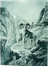 DESERT BIGHORN SHEEP IN SIERRA MOUNTAINS ~ Antique Old 1888 Landscape Art Print