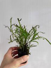 Planta de acuario,gambario. Microsorum  trident 3 rizomas.