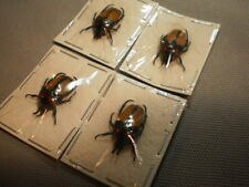 4 beetles Dicheros bicornis species nice yellow and red color