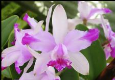 New listing C Intermedia v Aquinii 'Hefty' x C Intermedia 'Boa Vista' orchid plant (165)