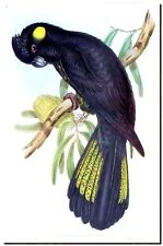 "Vintage John Gould Bird Art CANVAS PRINT~YELLOW TAIL BLACK COCKATOO 16""X12"""