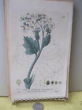 Vintage Print,SEA KALE,British Flower Plants,W.Baxter,1835