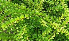 100 Lonicera Nitida  Hedging Box Honeysuckle Tree Plants, 20cm Tall In 9cm Pots