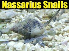 50 Pack Nassarius Vibex Snail Invertebrate Aquarium Clean Up Crew REEF SAFE!!