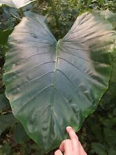 """7 Giant Elephant Ear live Plant between 5"""" to 12 """"bare corm Arrowleaf"""