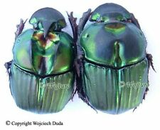 Sulcophanaeus menelas - pair, beautiful, rarer, A-/A2