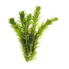 New listing Anacharis Elodea Densa Egeria - aquarium and/or pond plant Cheap!