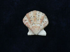 Formosa/shells/Flexopecten flexuosa 22mm