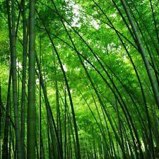 100 Chin Riesenbambus Samen Moso Bambus Winterhart Sichtschutz
