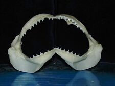"SHARKS JAW 5 to 6"" WIDE,  SEA SHELL NAUTICAL BEACH DECOR TROPICAL"