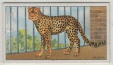 Cheetah Large Wild Feline Cat Cynaelurus jubatus 90+ Y/O Trade Ad Card