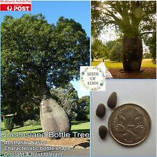 10 QUEENSLAND BOTTLE TREE SEEDS(Brachychiton rupestris); Great feautre tree