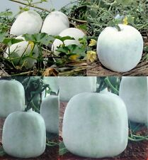 China Wax gourd Seed 10 seeds Vegetable Garden yard Patio balcony yard Bonsai