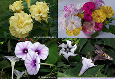 Colorful/Fragrant Night Garden Flowers Datura,Four O'clocks;4 seed packs/price 3