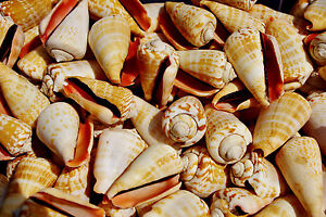 Luhu Medium Sea Shells, Natural Seashells for Craft, Fish Tanks and Displays