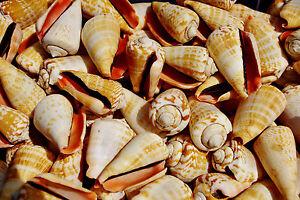 Luhu Medium Sea Shells, Natural Seashells for Craft, Fish Tanks and Displays