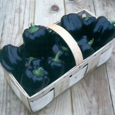 Purple Beauty Pepper Seeds- Heirloom- 50+ 2020 Season Pepper Seeds