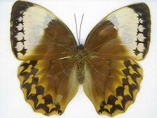 The Burmese Junglequeen - echter Schmetterling im Schaukasten aus Holz   17x15cm
