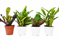 4 Croton Plant Variety Pack - All Different Species - FREE Care Guide