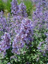Herb Catnip Seeds (Nepeta cataria)