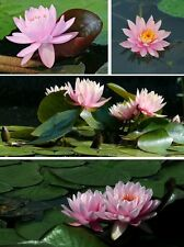 Seerose Nymphaea Ray Davies - rosa blühend / lange Blüte bis in den Herbst !