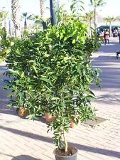 Limettenbaum, Lima, Bears oder süss, 145-160cm hoch dicker Stamm in Blüte/Frucht
