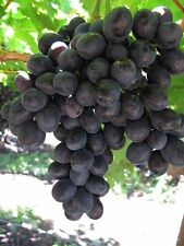 30+ FRESH Grape Seeds - Mixed Varieties - Malta Heirloom