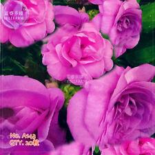 Camellia Purple Balsam Perennial Flower 20 Seeds Plants Home Garden Bloom Decor