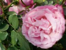 Old Blush Lilac Pink Rose 3 Gal. Bush Landscaping Plants Shrubs Plant Roses