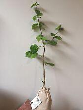 Truffle Tree (Hazel tree inoculated with the Black Summer or Burgundy Truffle)