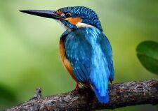 Beautiful British Wildlife Kingfisher Bird Photo Poster Print ONLY Wall Art A4