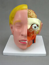 Head with 4 part Brain, Anatomical Model, NEW