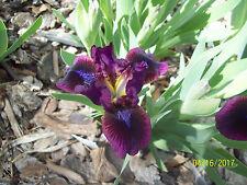 1 Pumpin Iron Standard Dwarf Bearded Iris Rhizome