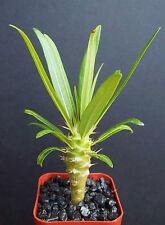 "Rare Pachypodium Geayi madagascar palm plant cactus cacti caudex bonsai 2"" pot"