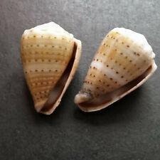 two Conus abbreviatus, 20 & 23mm, from Hawaii