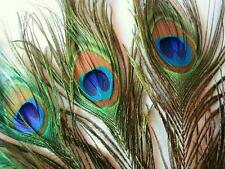 """5 Peacock Eye 1"""" Feather 12"""" Long Stem/Scrapbooking/Craft Supply/Party Trim V1"""