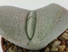 Dinteranthus wilmotianus , vaso 5,5CM (ariocarpus,copiapoa,cactus,仙人掌 )