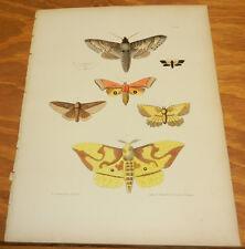1854 Antique COLOR Insect Print/MOTHS: HAWK, MEASURING WORM, OWL, WOOD