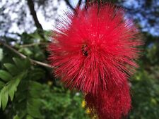 Red - Pom Pom Plant (calliandra haematocephala) 4 Reliable Viable Seeds