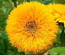 SUNFLOWER TEDDY BEAR Helianthus Annuus - 200 Bulk Seeds
