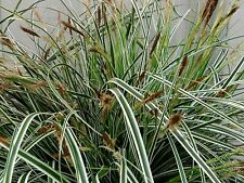 Grasses Cares Everest Unique green leaves edged in white 2LT POT